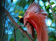 美麗的頂羽極樂鳥圖片