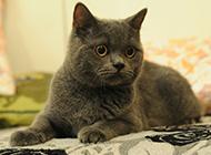 乖巧可爱的纯种英短猫图片