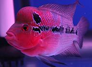 淡水觀賞魚羅漢鸚鵡魚圖片