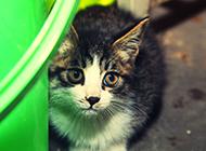 寵物中華田園貓圖片大全