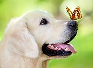 半歲的拉布拉多犬唯美寫真圖片