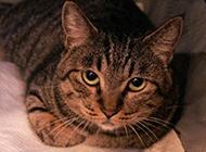 灰色貍花貓乖巧模樣圖片惹人喜愛