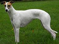 纯种惠比特犬图片大秀流线型身材