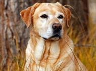 黃色拉布拉多犬憂郁表情圖片