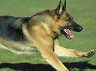 草地瘋狂飛奔的大黑狼犬圖片