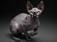 斯芬克斯猫机灵可爱模样图片