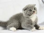 可愛萌萌噠的英國折耳貓圖片