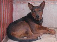 純種兇悍老版蘇聯紅犬圖片