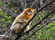 高清无水印金丝猴摄影图片