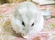 奶茶仓鼠卖萌的图片