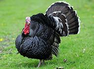 羽毛漆黑的杂交火鸡图片