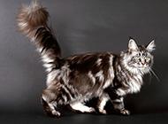 缅因猫图片姿态优雅神气