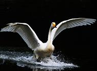 羽翼丰满的白天鹅图片壁纸