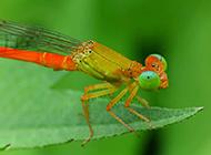 水蜻蜓豆娘护眼图片