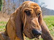 比利時尋血獵犬搞怪表情特寫圖片
