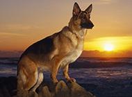大黑狼犬海邊霸氣抓拍圖片