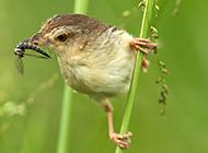 鸟类动物长尾山鹪莺高清图片