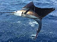 太平洋旗魚躍出水面圖片