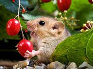顽皮贪吃的榛睡鼠图片