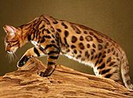 體形勻稱的純種中華豹貓圖片