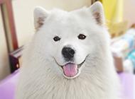 薩摩耶犬頑皮吐舌可愛圖片