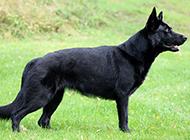 东德牧羊犬户外草地特写图片