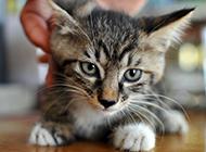 可愛小巧的貍花貓圖片