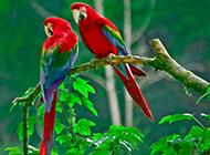 羽翼艳丽的金刚鹦鹉图片