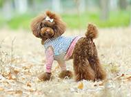 巧克力泰迪犬造型图片欣赏