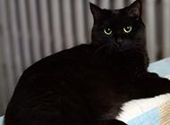 炯炯有神的孟买猫图片