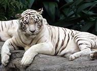 雄壯高大的白色孟加拉虎圖片