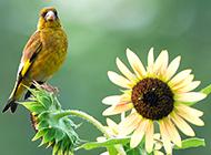 野生金丝雀花园美丽特写图片