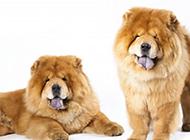 神情得意的巨型松獅犬圖片