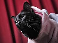 造型可愛的孟買貓圖片