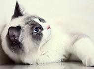 黑脸布偶猫调皮好动图片