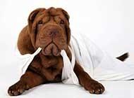可爱的沙皮犬高清唯美图片