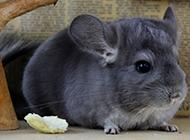 灰栗鼠身材圆滚滚图片
