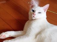 藍眼白貓躺在地上的圖片