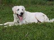 成年大白熊犬懶洋洋圖片