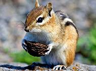 可爱花栗鼠搬运食物图片