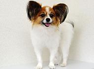 成年蝴蝶犬狗狗調皮圖片
