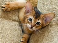 埃及貓調皮搗蛋圖片