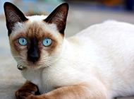 世界著名的暹罗猫图片大全