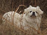 精致优雅的京巴犬图片