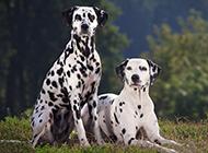 大麦町犬甜蜜伴侣有爱写真图片