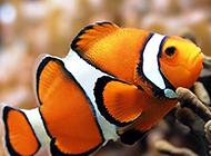 色彩斑斕的公子小丑魚圖片