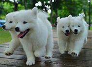 二個月小薩摩耶犬快樂戲耍寫真圖片