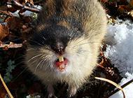 北極旅鼠齜牙咧嘴圖片