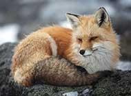 狡猾的狐狸高清美图壁纸精选