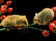 贪吃的西班牙睡鼠图片